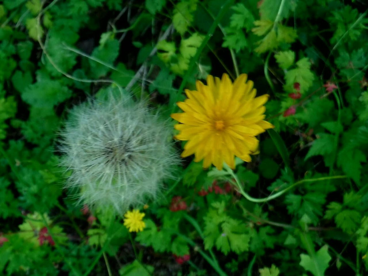 Colour Of Life Dandelion Collection Close-up Eyeemphoto Two Is Better Than One Vibrant Color Double Trouble Check This Out Hello World EyeEm Gallery