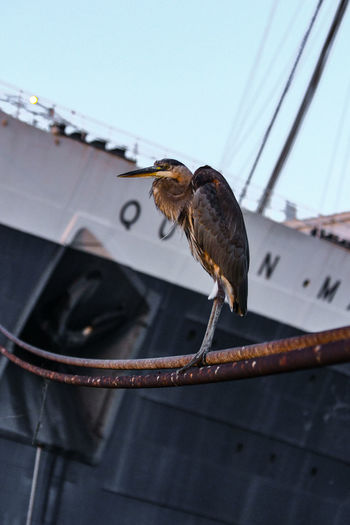 Heron Bird Queen Mary Ship Cool_capture_
