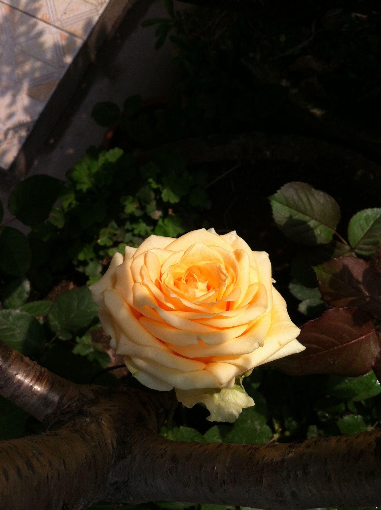 Flower Yellow Rose Sunshine Leaves🌿 这是我自己种的花。非常可爱呢。 Mobile Conversations