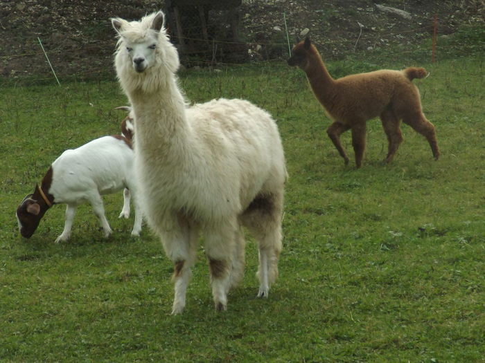 Alpaca Animal Family Animal Themes Day Domestic Animals Eye4photography  EyeEm EyeEm Gallery EyeEm Nature Lover Eyemphotography Field Grass Green Color Growth Kid Goat Landscape Livestock Mammal Nature No People Outdoors Pasture Sheep Standing Young Animal