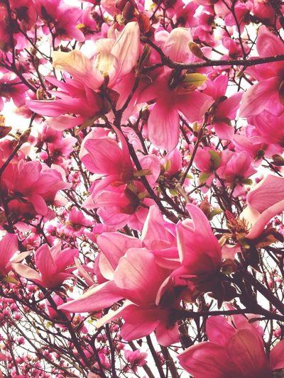 Spring giving more hints - Magnolia in full bloom. (© Sean Arbabi | Arbabi Imagery)