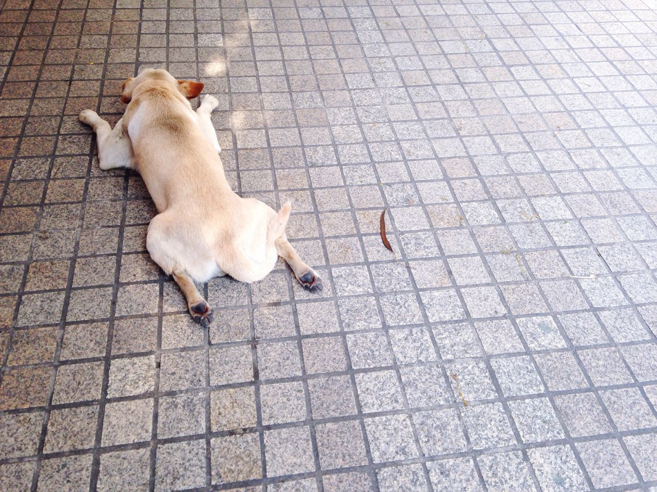 Happy Sleepy Relaxing Dog Cold Wind Cosy Lie Down On The Street White Dog Sleepy Relaxing Chill Out Easy Sleep True Tower Sleepy Joyful Dog Thai Street Dog Bangkok Ratchadapisek