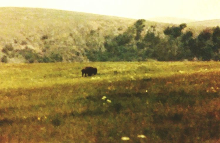 35mm Film Oklahoma Nature Great Plains American Bison Beauty In Nature Scenics Back To Nature Outdoors Tranquility Wildlife & Nature 1985 EyeEm Nature Lover
