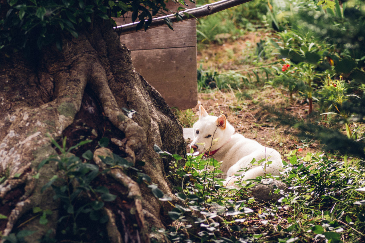 Japan Lovers Animal Themes Animals Beautiful Nature Capture The Moment Day Dog Enjoying Life Eye4photography  EyeEm Best Shots EyeEm Nature Lover Eyeemphoto Fragility Fresh On Eyeem  Green Japan Looking At Camera Nature One Animal Outdoors Quality Time Relaxing Simple Moment Yard Shiba Inu