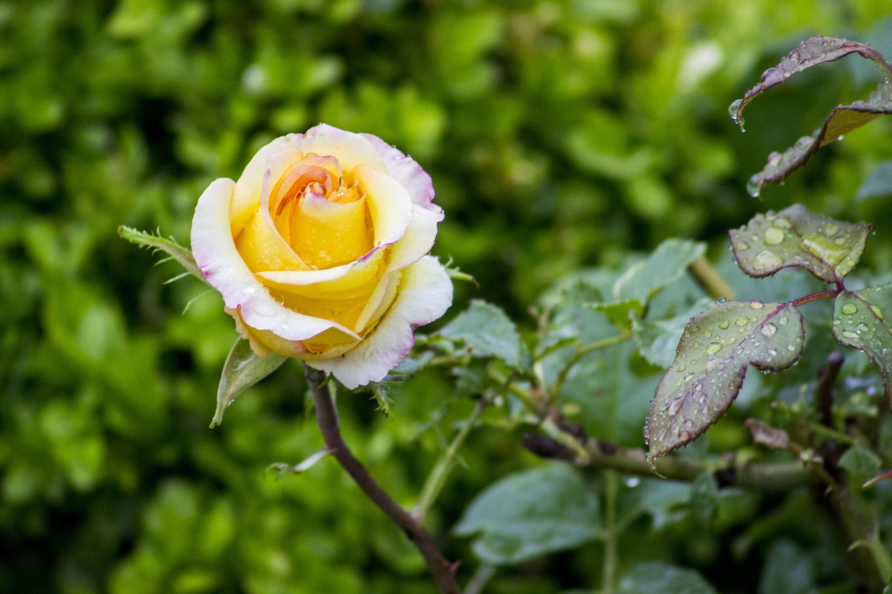 Beauty In Nature Blooming Close-up Day Drop Flower Flower Head Focus On Foreground Fragility Freshness Growth Nature No People Outdoors Petal Plant Rose - Flower Water Wet Yellow Flower Yellow Rose After Rain RainDrop Leaf