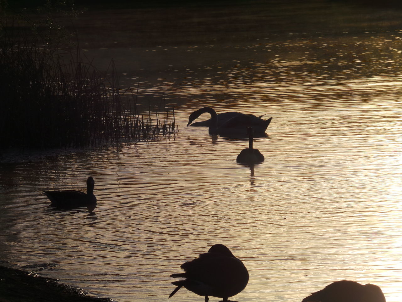 bird, animals in the wild, water, animal themes, silhouette, nature, reflection, animal wildlife, sunset, lake, swimming, beauty in nature, no people, scenics, outdoors, swan, day