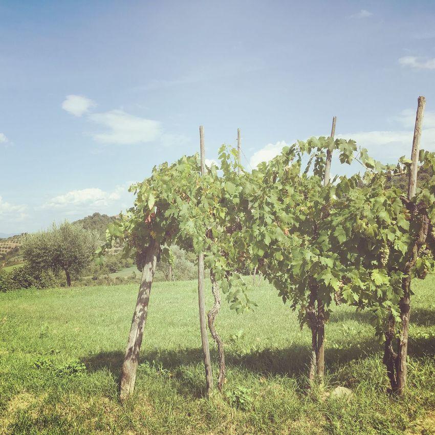 Vignes en Toscane / Vineyard in Toscana Summer Colors Green Nature Nature_collection Nature Photography Italy Tuscany Toscane Landscape Landscape_Collection