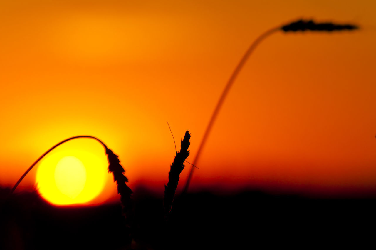 Wheat Sunset Orange Sunset Poland Wheat Crop  Nature Orange Color Silhouette Sunset