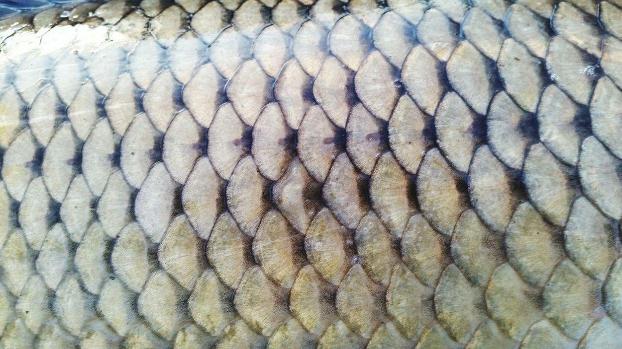 Common Carp Fish Scales Perfection Fishing