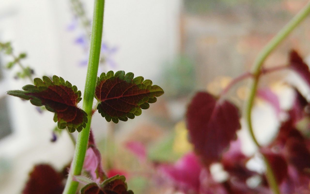 Close-up Minimalism Coleus Plant Growth Nature Leaf Beauty In Nature