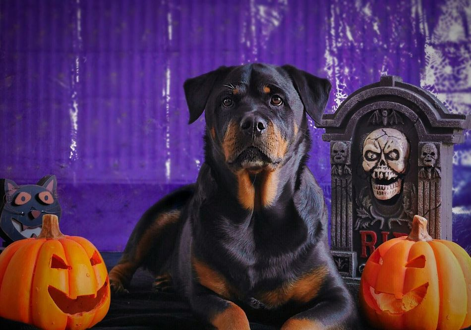 Dog Pumpkin One Animal Pets Halloween Night Animal Themes Cat Rottweiler Dogs Of EyeEm Beautiful Girl Dogoftheday Looking At Camera Rottweilergirls Cute Dog  Rottweilerlife Frightnight 31stOCT Tombstone