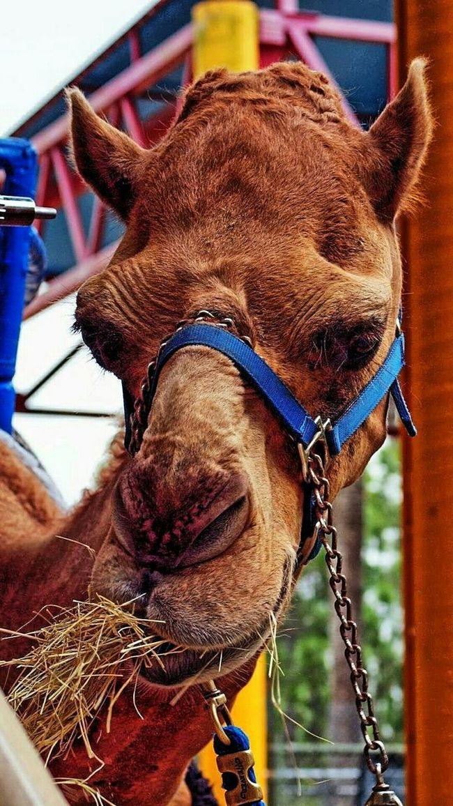 Camel - Metro Zoo - Miami, Florida. Camels Beautiful Animals  Animal Photography Animal_collection Zoo Animals  Animals We Love Camels! Animal Animal Love