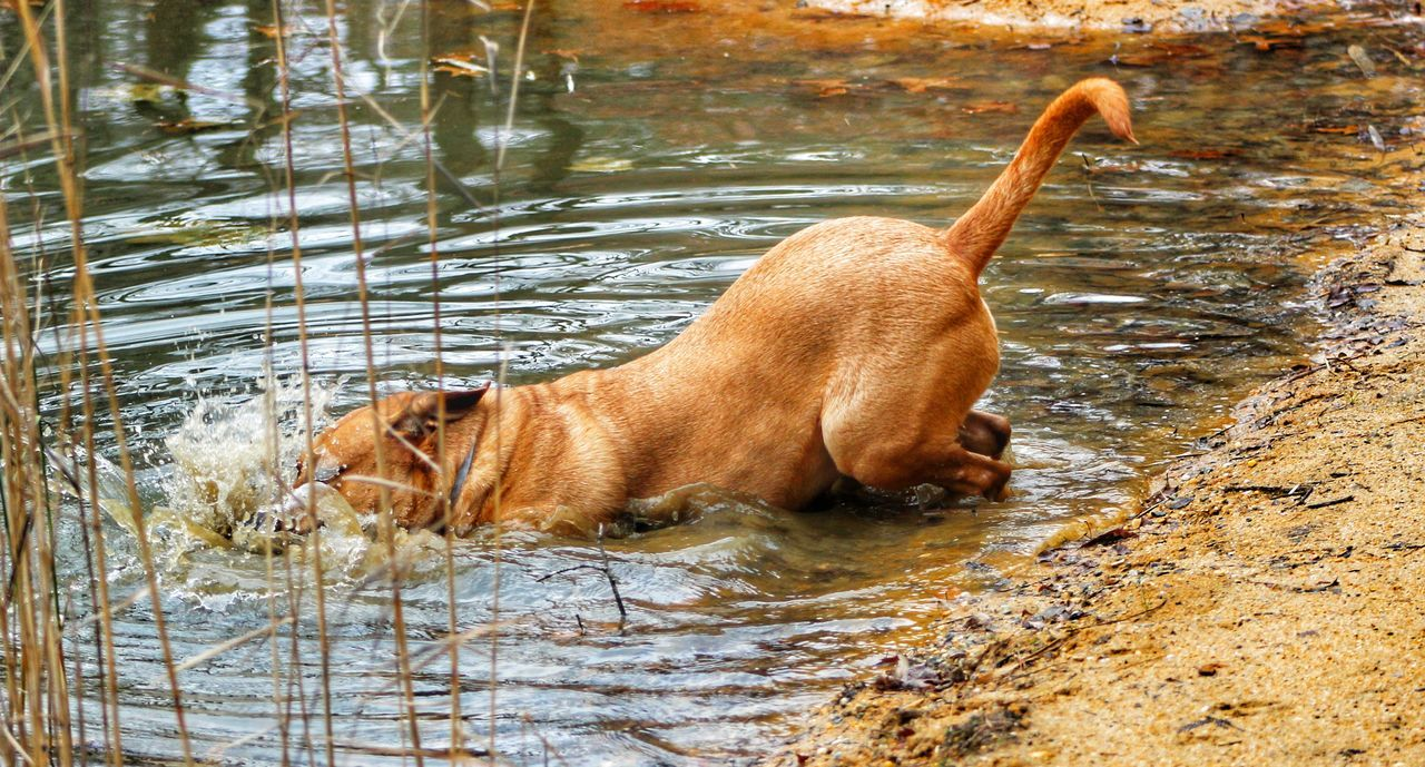 dog, pets, domestic animals, one animal, animal themes, mammal, water, lake, no people, outdoors, day, nature
