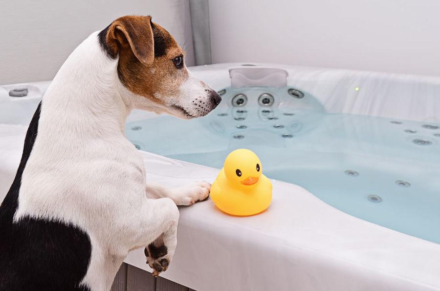 Resultado de imagen para jack russell bath time