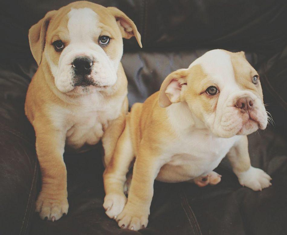 By Leesa Morris Be More Dog English Bulldog Hello World Puppy Love Dogs Of EyeEm Petstagram Dogstagram CHURCHILL