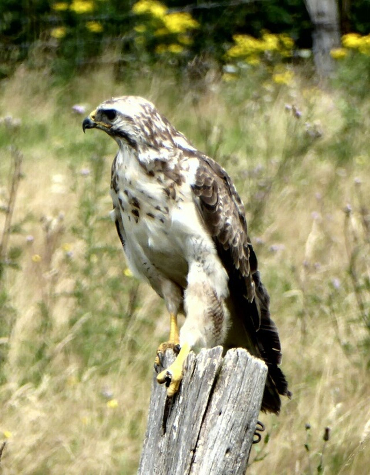 Animals In WildlifeMäusebussard Common Buzzard Animals In The Wild Animals Posing Birds Of EyeEm  Birds_collection Birdwatching Magicmoment Nature Photography Beautiful Nature Naturelovers On The Way Birds In The Wild Adventure Club Showcase July