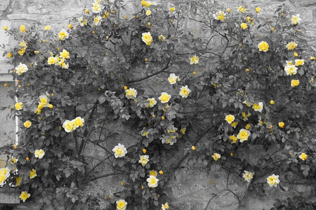 Flower Growth Yellow Beauty In Nature Nature Petal Flower Head Freshness Blossom In Bloom Outdoors Roses
