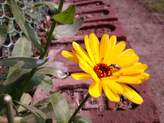 Taking Photos Macro Beauty Macro Photography Lovelynatureshots University Campus NorthCampusDu EyeEm Nature Lover Naturesbeauty Beautiful Nature_collection Flowers Nature Mobile Photography Yellow EyeEm Flower Delhiuniversity Yellow Flower Bee Siting On Flower Lovely Bees And Flowers Bee 🐝