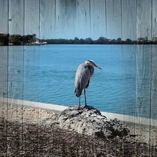 Heron Sarasotabay Jehovahscreation Serene