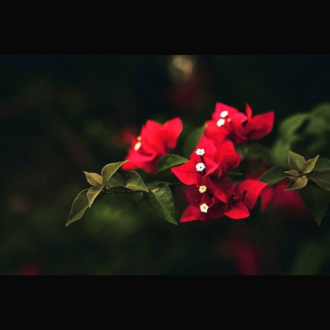 • BLOOM • Nature Bouganville Bokeh Winterdiaries College Vnit Oneplustwo Greensandreds