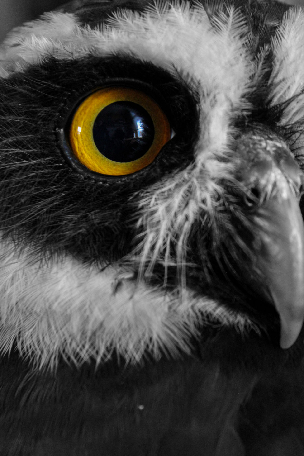 Animal Body Part Animal Eye Animal Themes Beak Bird Close-up Cute737 Day Eyeball Human Eye Indoors  Isolated Color Looking At Camera Mammal Mask - Disguise One Animal Owl Owl Eyes Portrait Spooky Yellow Eyes