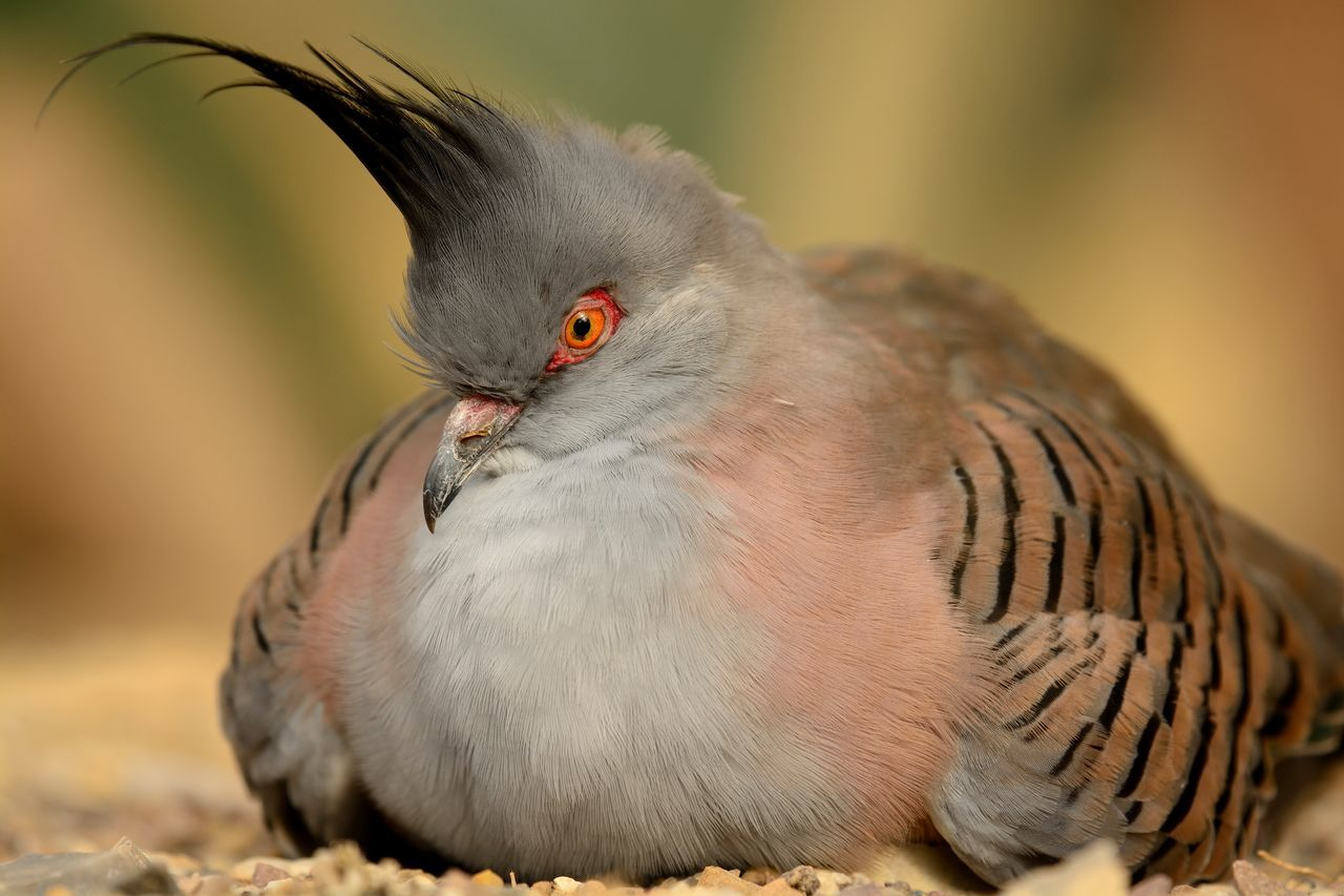 Animal Themes Beauty In Nature Bird Birds_collection Check This Out Close-up Crested Pigeon Day Eye4photography  EyeEm Best Shots EyeEm Gallery EyeEm Nature Lover Focus On Foreground Grey Nature Nature Photography Nature_collection Naturelovers No People Outdoors Pigeon Portrait Relaxing Selective Focus Sitting