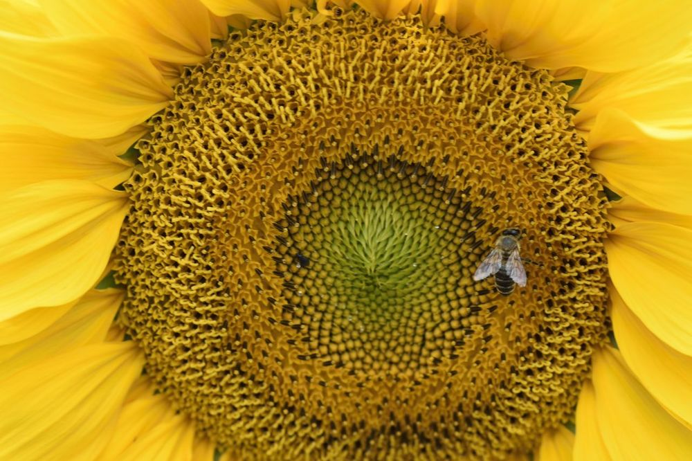 Sunflower & bee Animals Bee Flower Nature Plant Polination Sunflower Yellow Flower