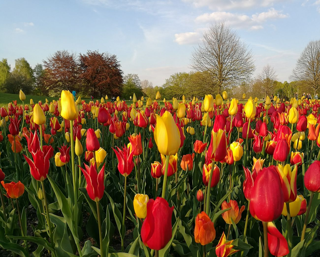 Beautiful stock photos of tulip, Flower, abundance, beauty In Nature, blossom