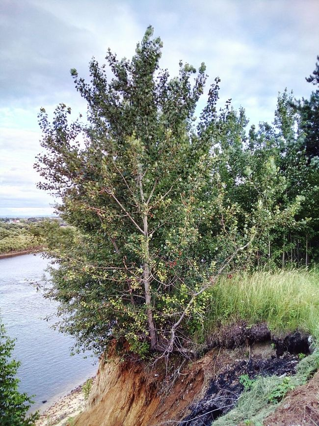 Tree on the cliff Cliff Cliffside Tree Aspen River Riverside River View Riverscape Landscapes River Cliff Summer July Russia Nature