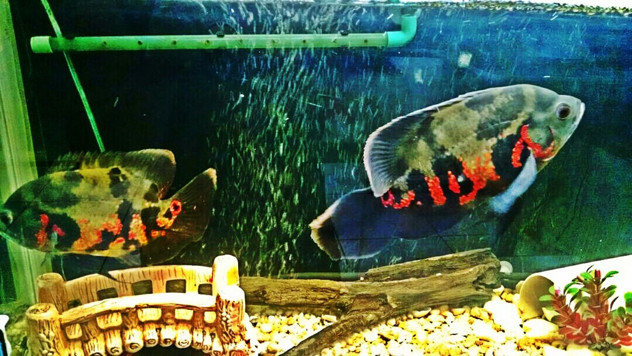 What's For Dinner? Taking Photos Boa Vista Aguas Peixes Amoomeuaquario Paixaoporpeixes First Eyeem Photo Roraima Hanging Out