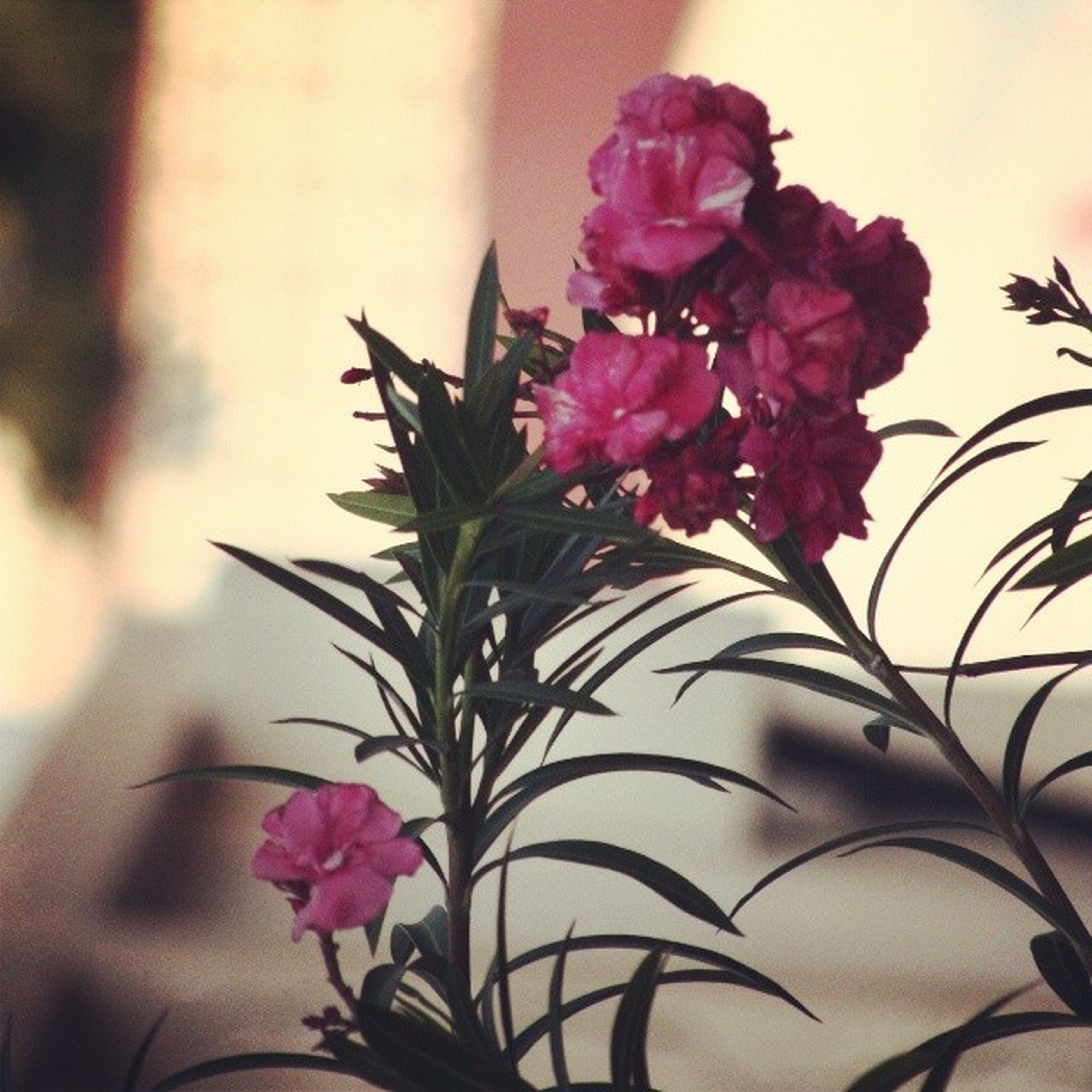 flower, freshness, fragility, petal, flower head, growth, beauty in nature, pink color, plant, blooming, nature, close-up, focus on foreground, in bloom, leaf, rose - flower, blossom, stem, bunch of flowers, day