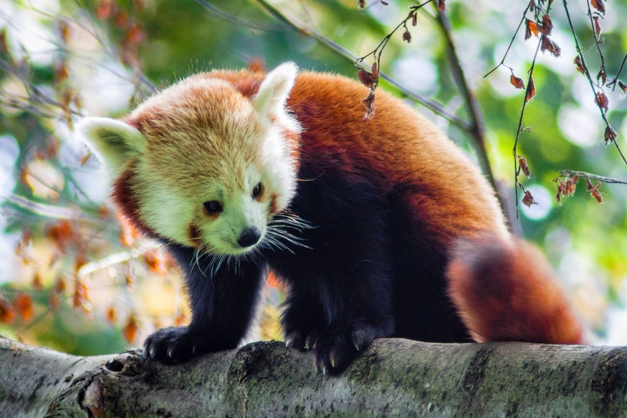 Beautiful stock photos of panda, Animal, Animal Themes, Animals In The Wild, Arboreal Animal