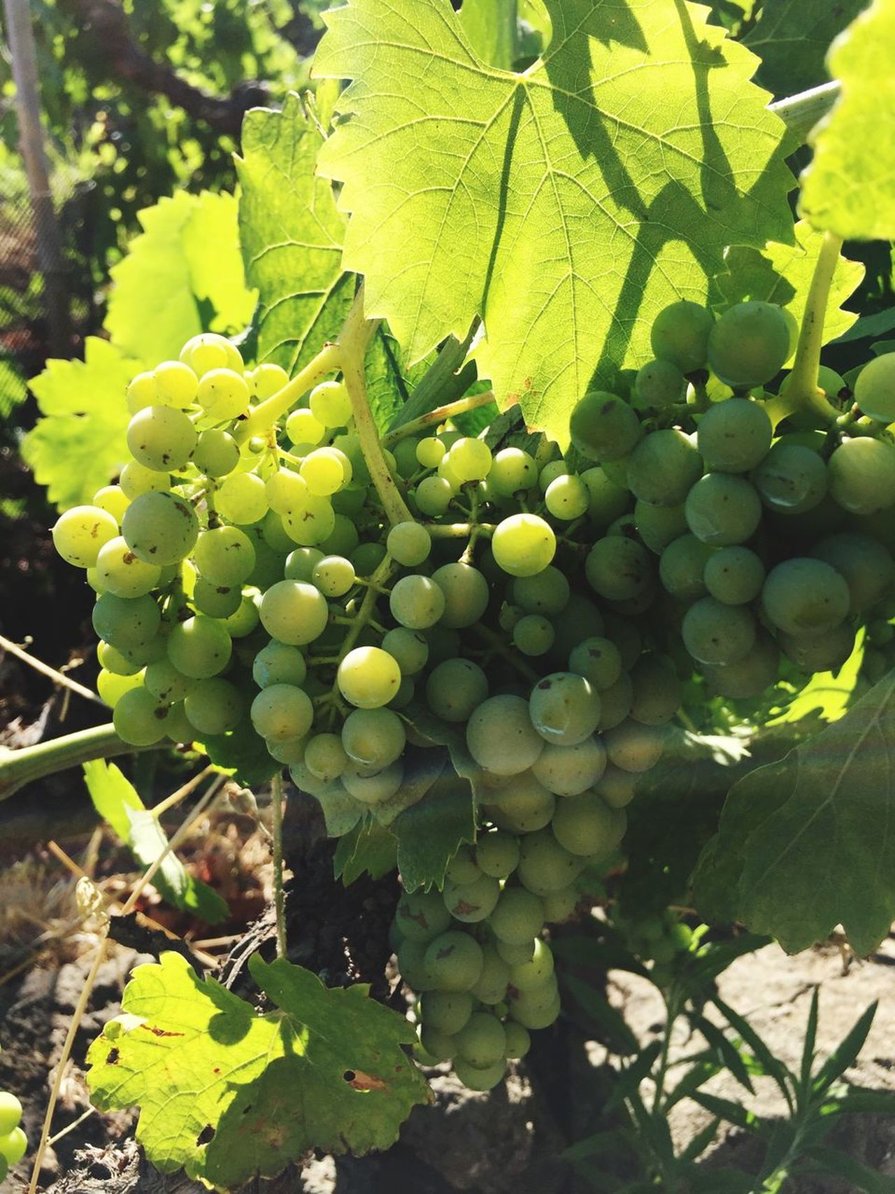Sommergefühle vineyard Growth Fruit Green Color Leaf Grape Food And Drink Vineyard Agriculture Day Nature Freshness Outdoors Plant No People Tree Healthy Eating Food Sunlight Hanging Beauty In Nature Grapes Vineyards