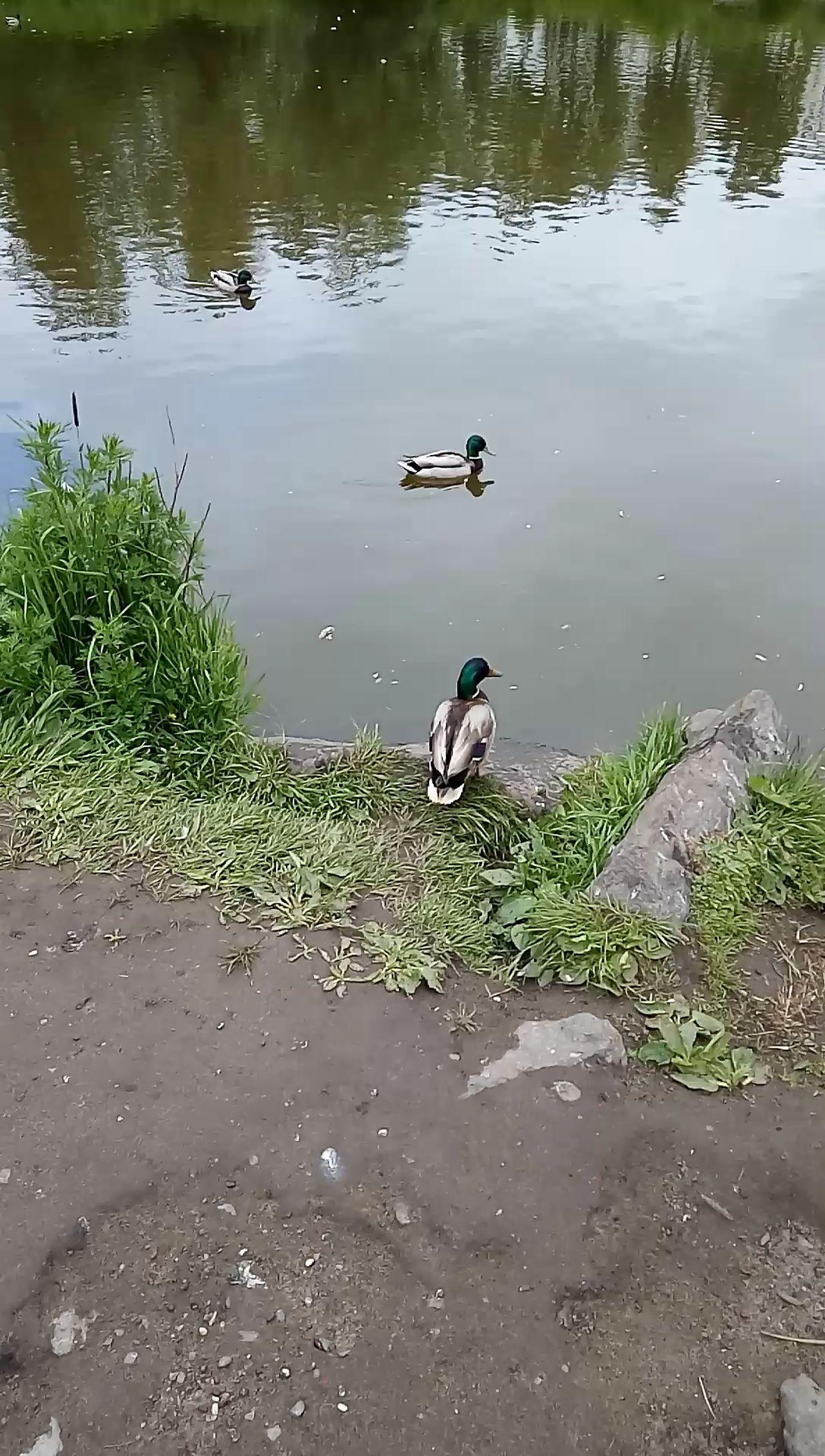 мойгород Duck Water