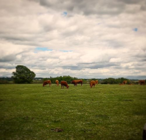 Pascolo Animal Themes Domestic Animals Grass Field Grazing Mammal Livestock EyeEmNewHere AI Now Love Yourself