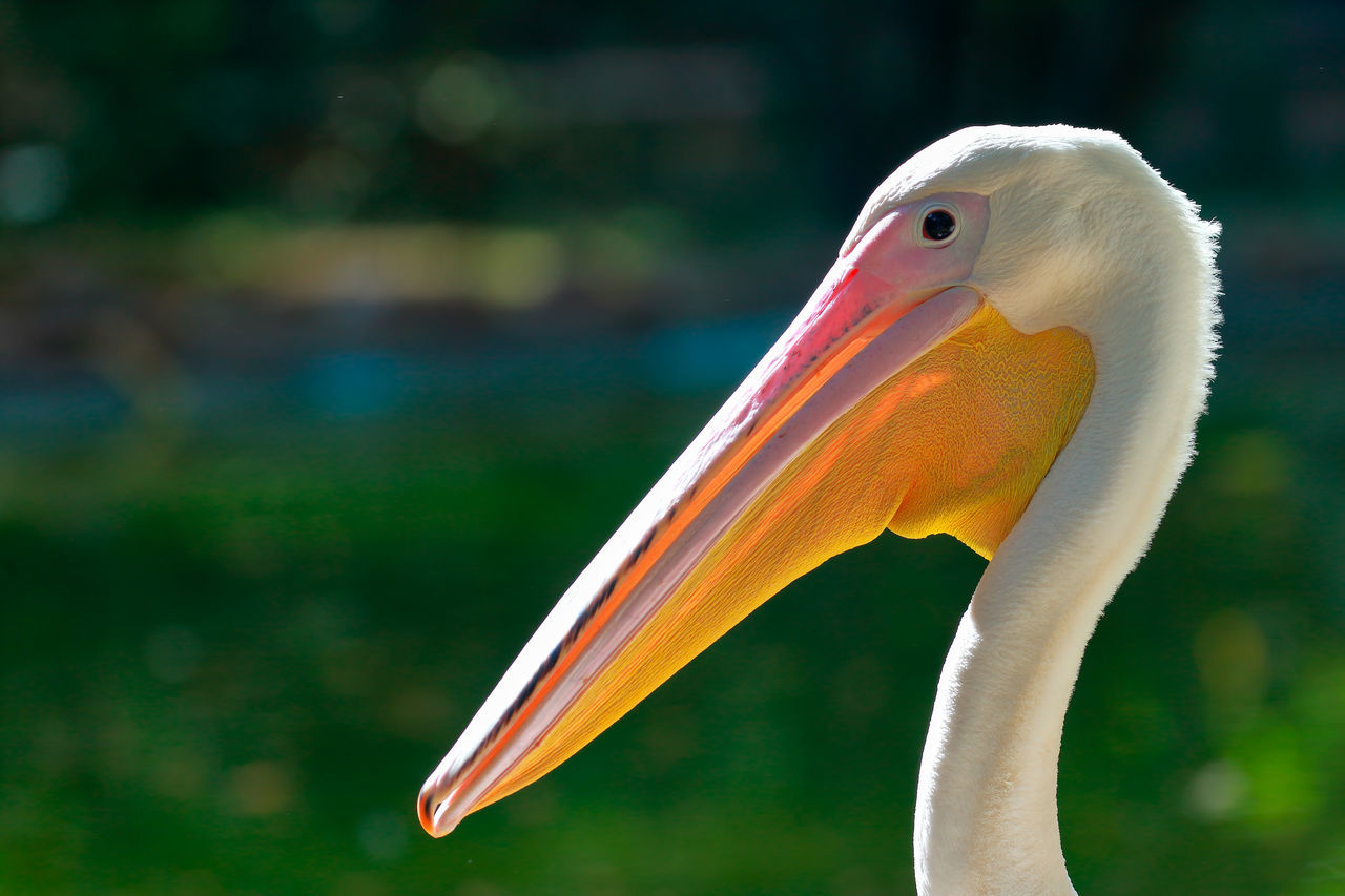 bird, one animal, animals in the wild, beak, animal themes, focus on foreground, animal wildlife, day, no people, close-up, nature, outdoors, beauty in nature, flamingo