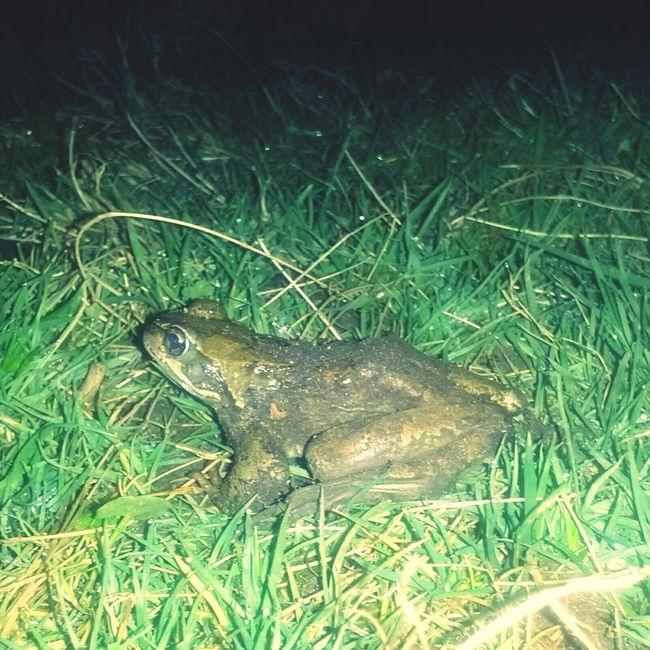 Kermit was here. Die Frosch-Saison hat begonnen. Frogs Nature Life Night Shots