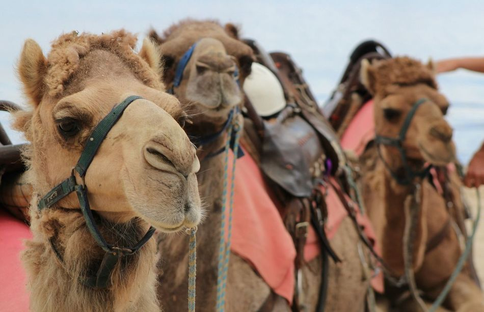 Beautiful stock photos of camel, Animal Themes, Bridle, Camel, Day