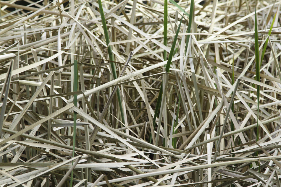 winter reeds Backgrounds Beauty In Nature Cattails Close-up Day Full Frame Grass Lost Maples State Park Nature No People Outdoors Texas State Parks Water Reed EyeEmNewHere Blind Duck Duckblind Water Reed Art Is Everywhere