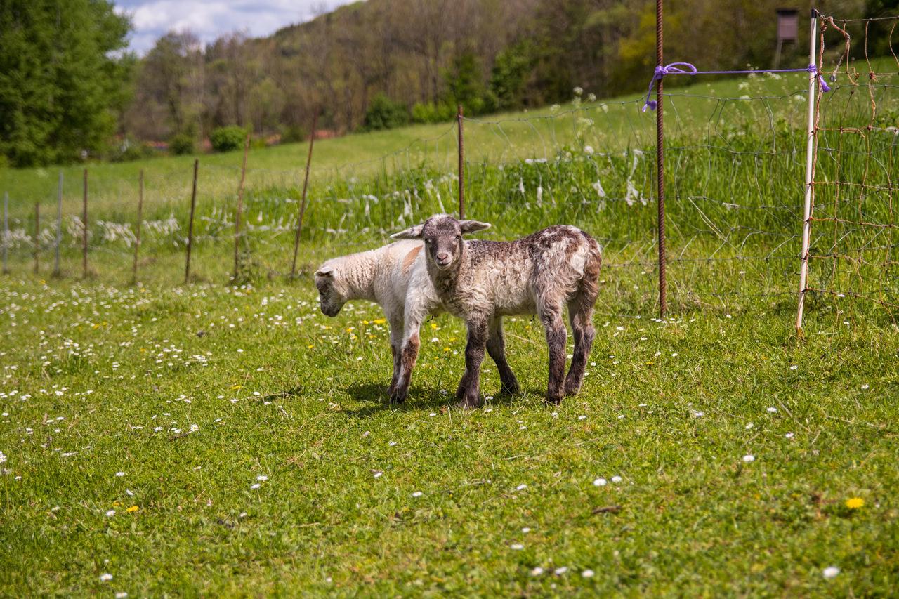 Animales Animals Bauernhof Cordero Farm Field Grass Grassy Lamb Lamm Livestock Natur Nature Outdoors Oveja Schafe Sheep Tiere Wiese  Wildlife