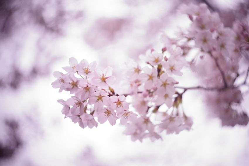 Capture The Moment Fantasy Blossom Fragility Sakura Springtime Cherry Blossoms Flower Beauty In Nature Fine Art Depth Of Field Macro Tranquility Focus On Foreground Uzuki Of The Flower EyeEmNewHere Still Life Nature Full Frame Detail Oldlens Helios EyeEm Best Shots 17_04