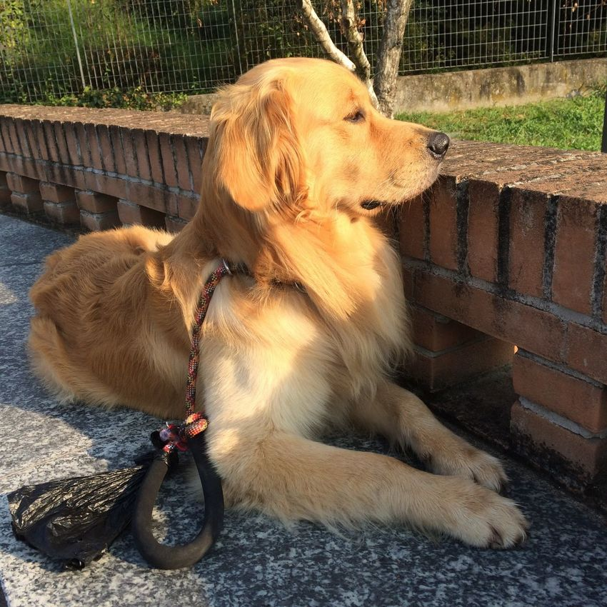 Diamond My Dog Golden Retriever Beautiful Dog Domestic Animal Zibido San Giacomo Tenderness Lovely Sunlight Cool Love Photography ♡ IPhone 5S No Filters Or Effects 2016☀️