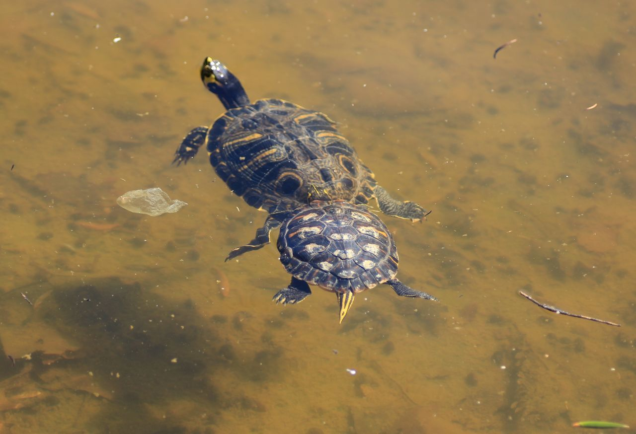 Turtles in water Sardegna Sardinia Sardegna Italy  Tartarughe Turtles Tartarugas