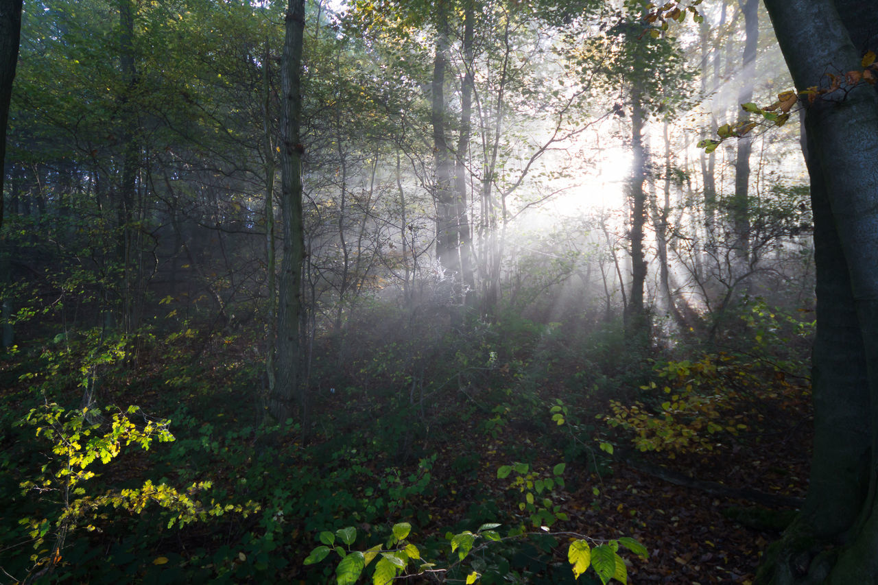 Light in the forest Beauty In Nature Fog Forest Freshness Nature No People Outdoors Rays Of Light Scenics Sun Light Through Trees Sun Rays Tranquil Scene Tranquility Tree