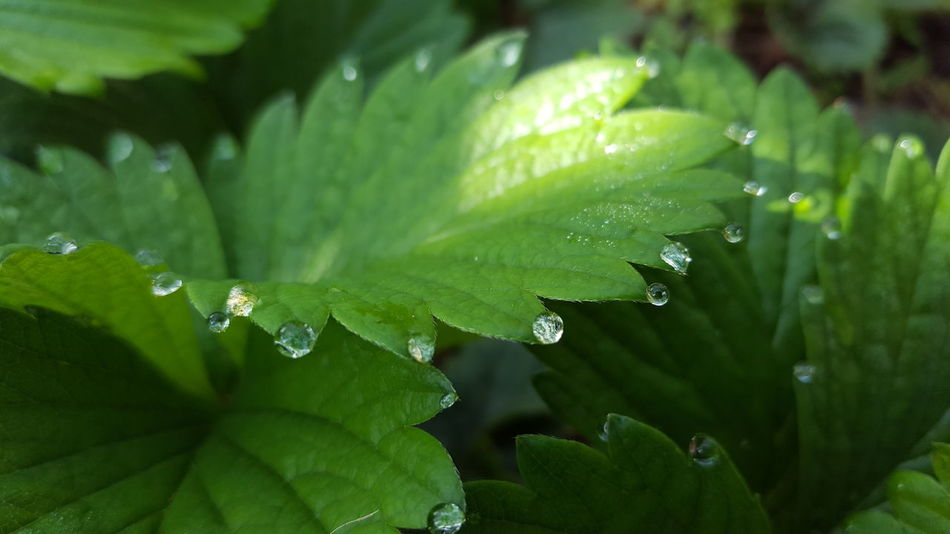 Leaf Close-up Green Color Strawberry Spring Growth Water Dew Drops Nature Beauty In Nature Freshness Wet Plant Beauty No People Lush - Description Outdoors Backgrounds Beautiful Nature Tautropfen EyeEmNewHere