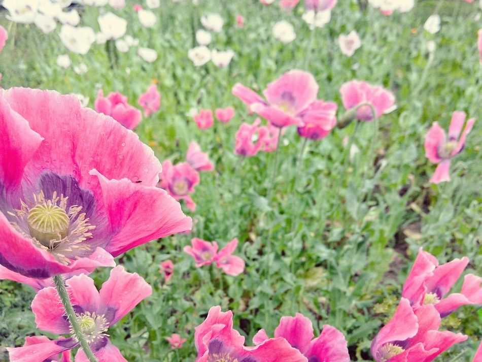 Poppy Field Garden Photography White Flowers Pink Flowers Opium Poppies Garden Treasures Raindrops Windy