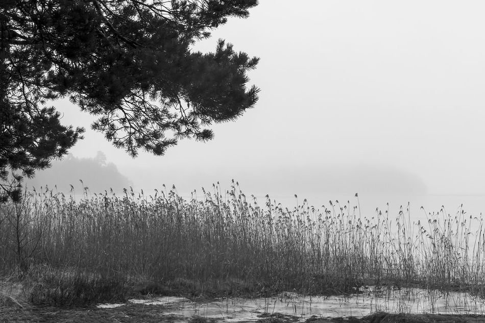Beauty In Nature Black & White Black And White Day Exceptional Photographs EyeEm Best Shots - Black + White Foggy Grass Growth Hello World Lake Lake View Lakeshore Landscape Misty Nature Outdoors Pine Reed Scenics Tranquil Scene Tranquility Tree Water Silence