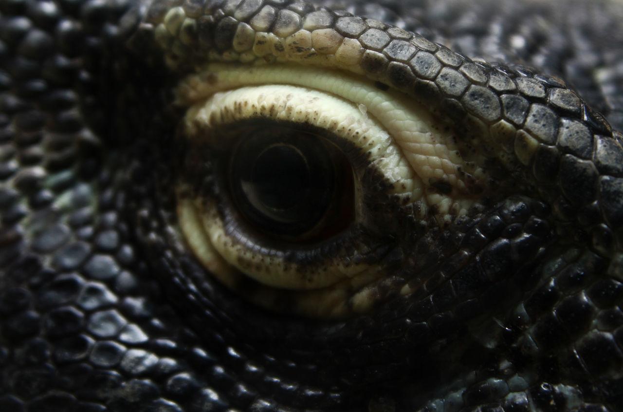Animal Body Part Animal Eye Animal Skin Animal Themes Close-up Eyeball Eyesight Komodo Komodo Dragon One Animal Reptile
