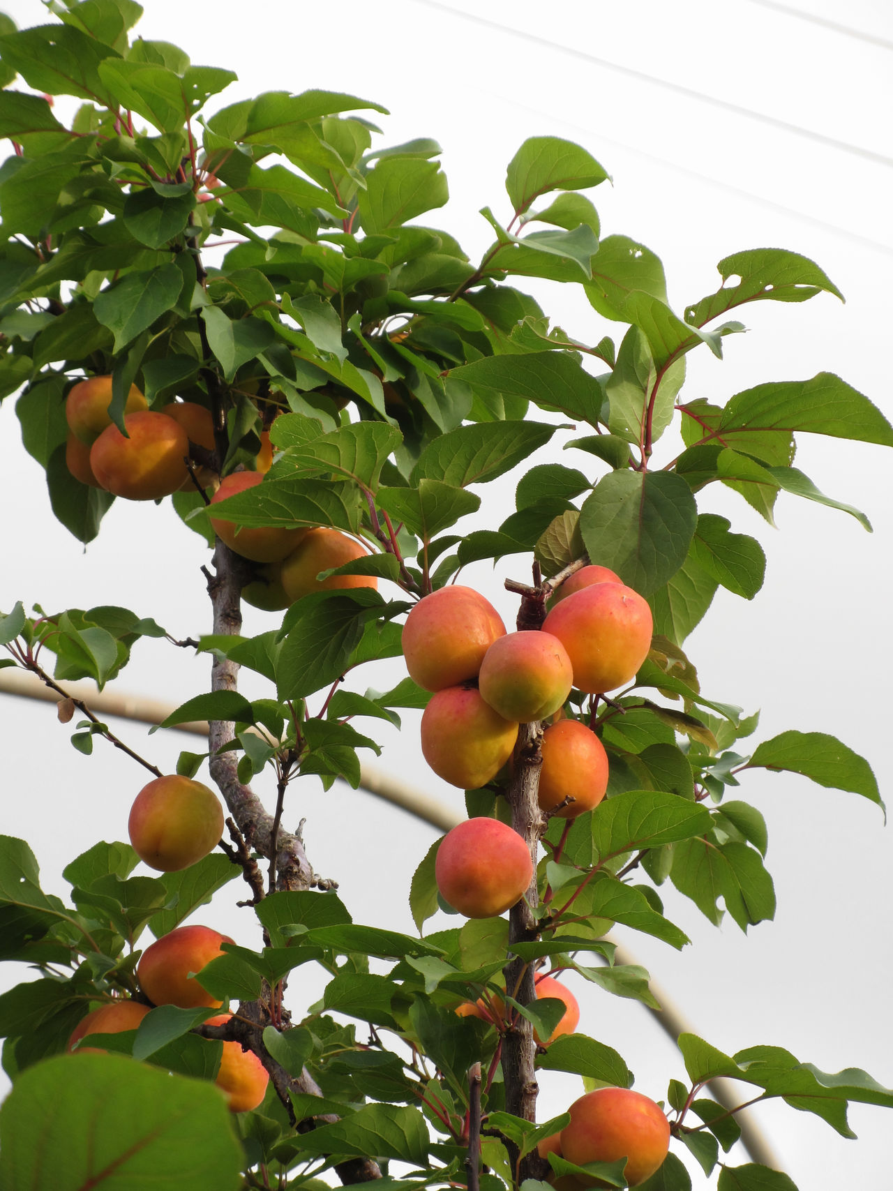 Ripe apricots hanging on the tree . Tuscany, Italy Agriculture Apricot Apricot Tree Branch Food Fruit Garden Growing Hanging Harvest Juicy Leaf Orchard Raw Refreshment Ripe Ruddy Rural Scent Stem Sweet Tree Vegan Food Vegetarian Food Vitamin