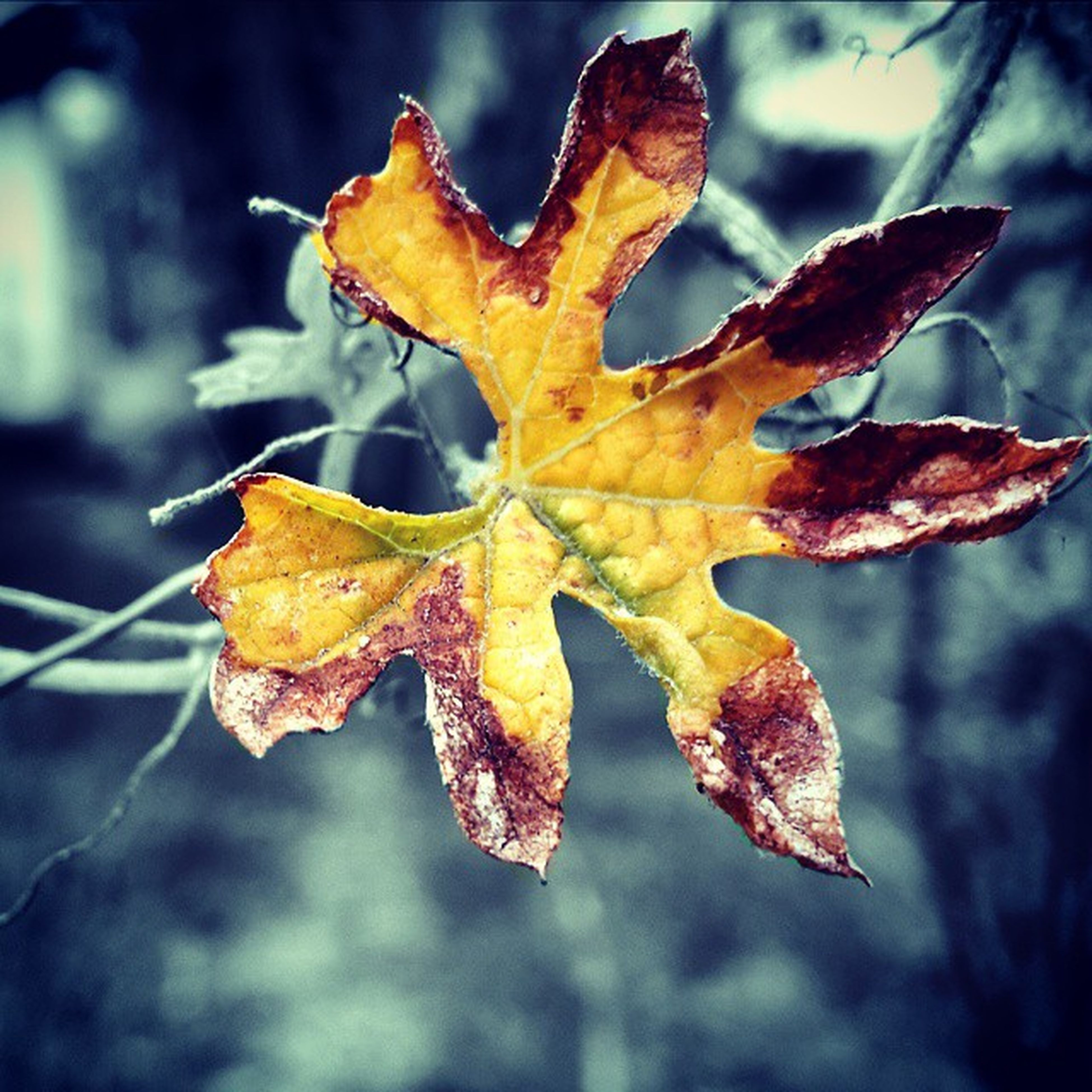 autumn, change, leaf, season, maple leaf, close-up, leaf vein, dry, focus on foreground, leaves, natural pattern, orange color, nature, fragility, natural condition, beauty in nature, aging process, outdoors, yellow, day